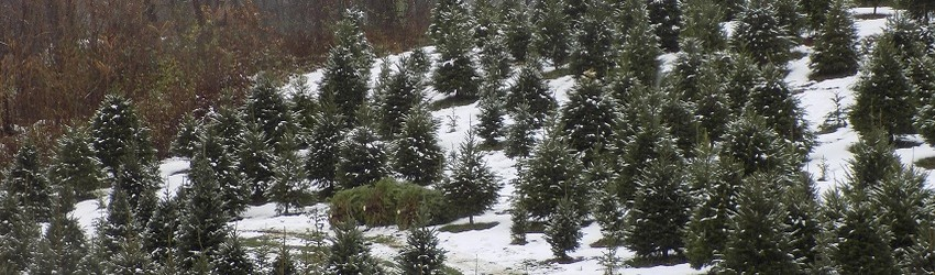 Going Green:  The Benefits of a Real Christmas Tree