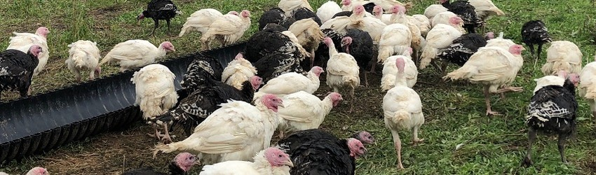 Find Locally Raised Turkey for Your Thanksgiving Dinner